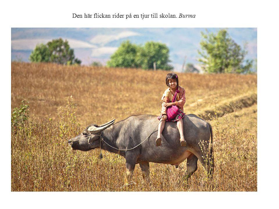 Den här flickan rider på en tjur till skolan. Burma