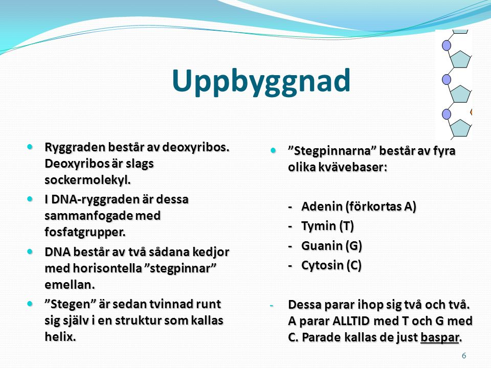 6 Uppbyggnad Ryggraden består av deoxyribos. Deoxyribos är slags sockermolekyl. Ryggraden består av deoxyribos. Deoxyribos är slags sockermolekyl. I D