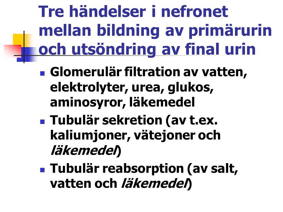 Tre händelser i nefronet mellan bildning av primärurin och utsöndring av final urin Glomerulär filtration av vatten, elektrolyter, urea, glukos, amino