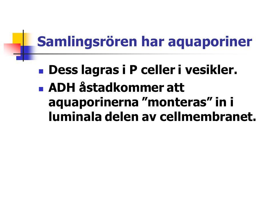 """Samlingsrören har aquaporiner Dess lagras i P celler i vesikler. ADH åstadkommer att aquaporinerna """"monteras"""" in i luminala delen av cellmembranet."""