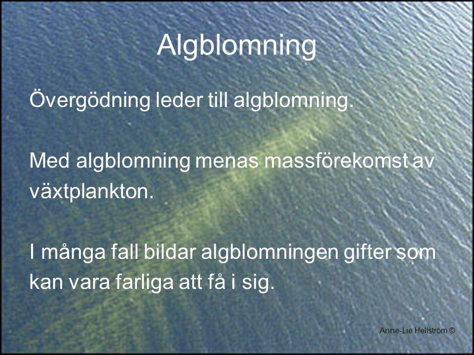 Algblomning Övergödning leder till algblomning. Med algblomning menas massförekomst av växtplankton. I många fall bildar algblomningen gifter som kan