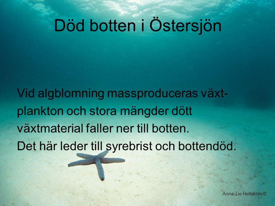 Död botten i Östersjön Vid algblomning massproduceras växt- plankton och stora mängder dött växtmaterial faller ner till botten. Det här leder till sy