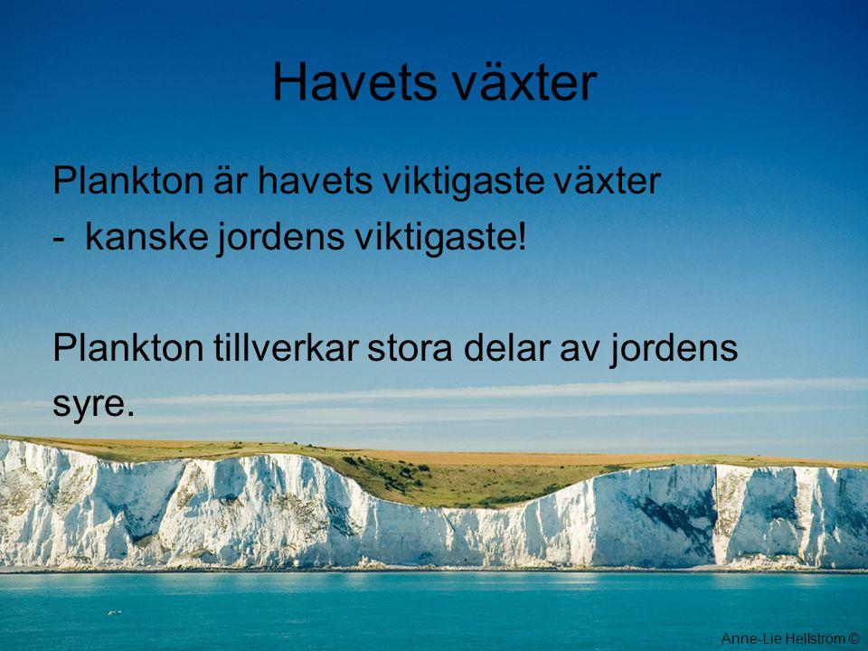 Havets växter Plankton är havets viktigaste växter -kanske jordens viktigaste! Plankton tillverkar stora delar av jordens syre. Anne-Lie Hellström ©