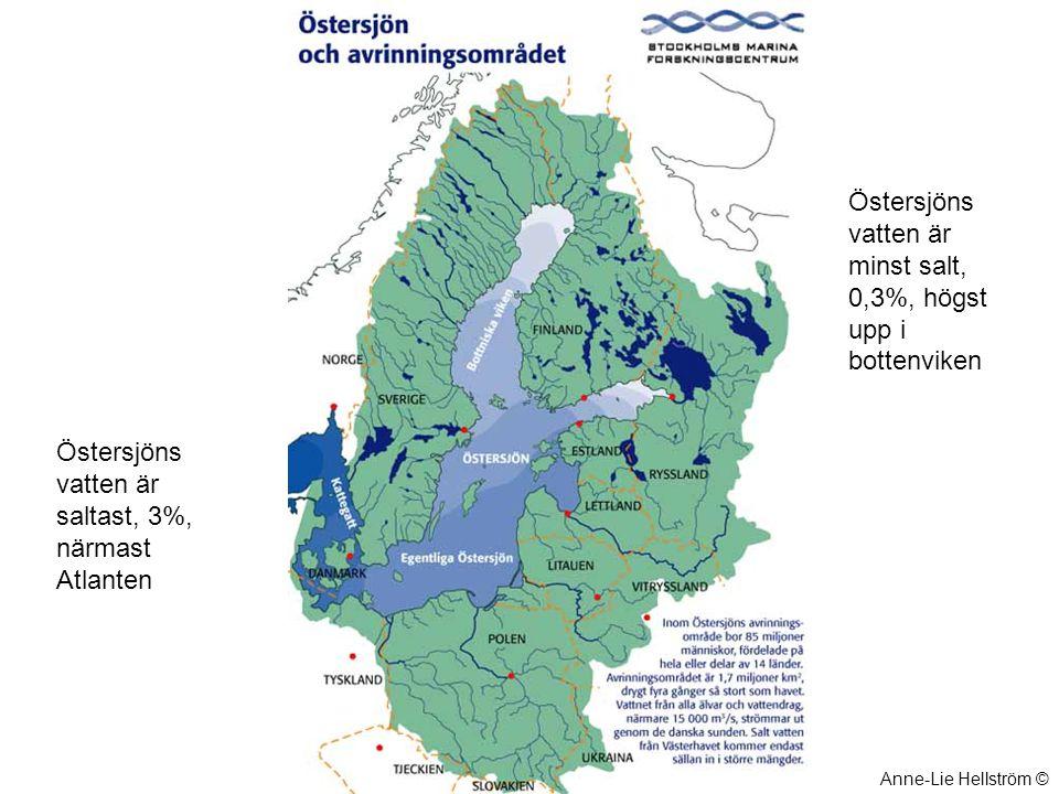 Blåstång Blåstången är en av Östersjöns viktigaste alger.