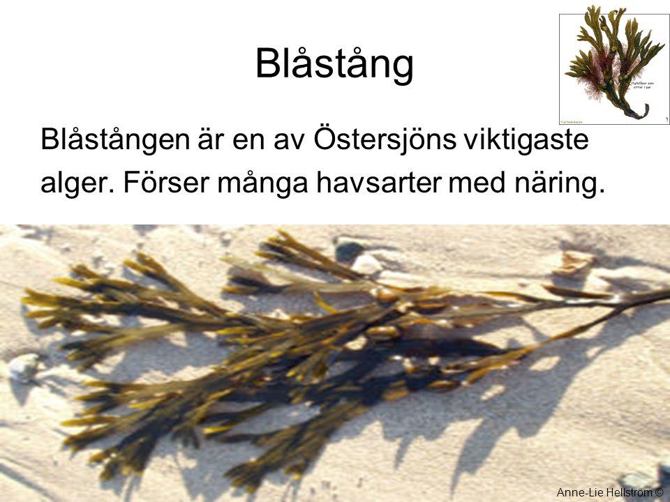 Blåstång Blåstången är en av Östersjöns viktigaste alger. Förser många havsarter med näring. Anne-Lie Hellström ©