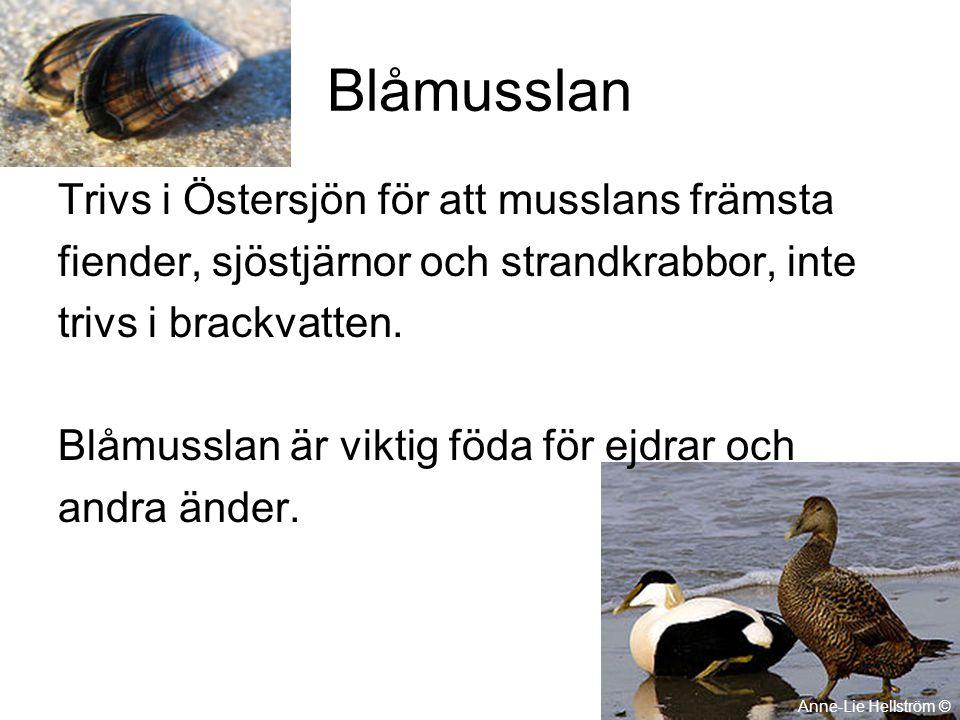 Blåmusslan Trivs i Östersjön för att musslans främsta fiender, sjöstjärnor och strandkrabbor, inte trivs i brackvatten. Blåmusslan är viktig föda för