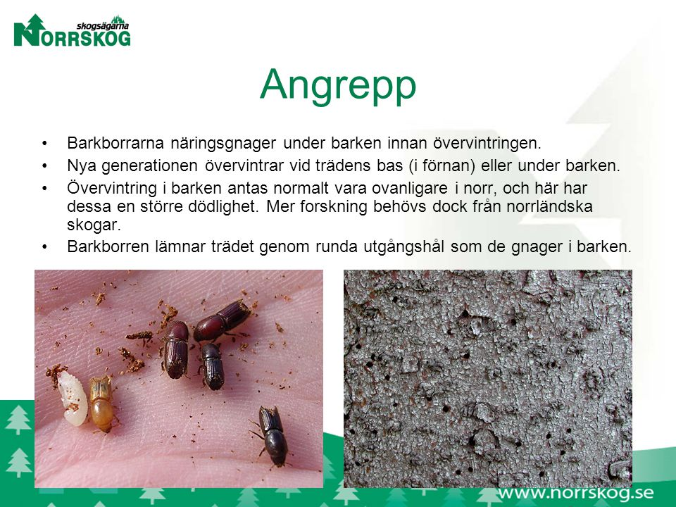 Angrepp Barkborrarna näringsgnager under barken innan övervintringen.