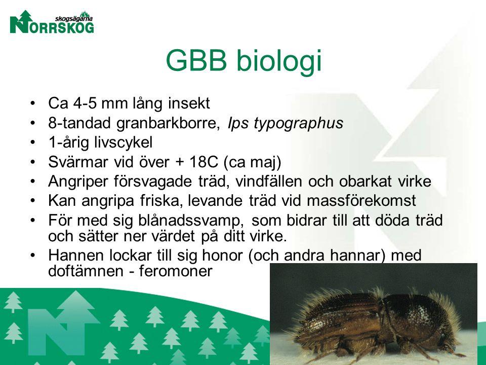 GBB biologi Ca 4-5 mm lång insekt 8-tandad granbarkborre, Ips typographus 1-årig livscykel Svärmar vid över + 18C (ca maj) Angriper försvagade träd, vindfällen och obarkat virke Kan angripa friska, levande träd vid massförekomst För med sig blånadssvamp, som bidrar till att döda träd och sätter ner värdet på ditt virke.