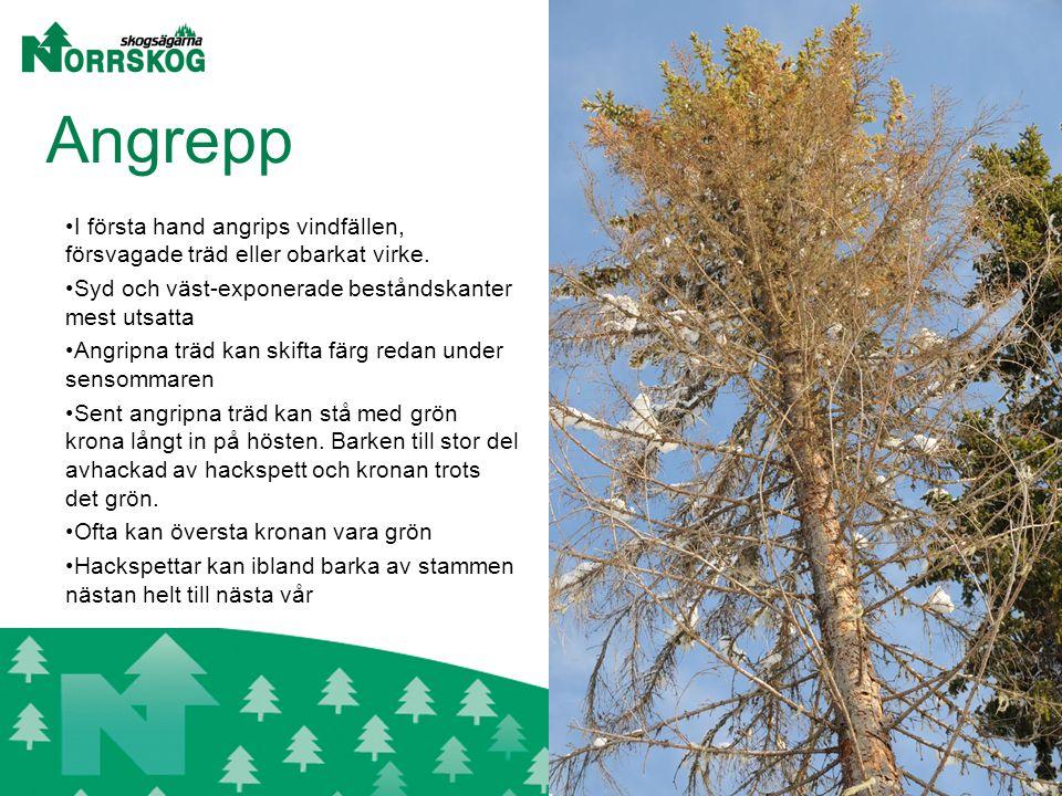 Angrepp I första hand angrips vindfällen, försvagade träd eller obarkat virke.