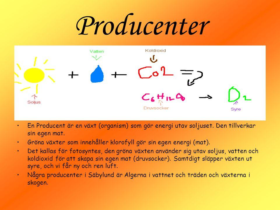 Producenter En Producent är en växt (organism) som gör energi utav soljuset. Den tillverkar sin egen mat. Gröna växter som innehåller klorofyll gör si
