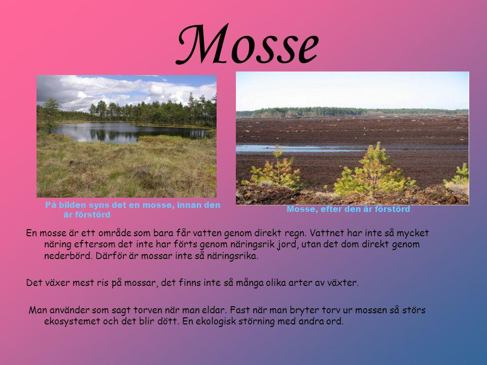 Mosse På bilden syns det en mosse, innan den är förstörd En mosse är ett område som bara får vatten genom direkt regn. Vattnet har inte så mycket näri