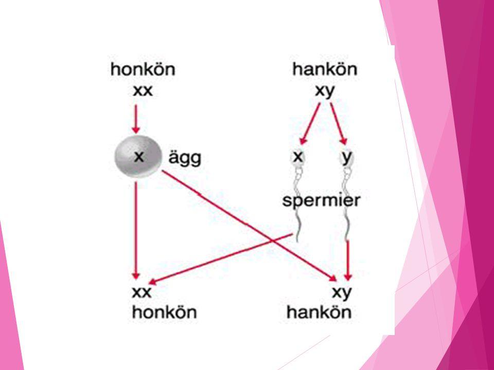 Kromosomer styr manniskors kon